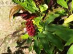 コモスス・ベイケリの花