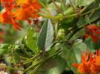 メキシコサワギクの葉