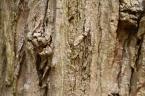 ハリエンジュ(ニセアカシア)の樹皮