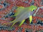 ヤマブキスズメダイの幼魚