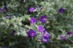 コダチヤハズカズラの花