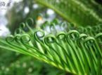 ソテツの葉
